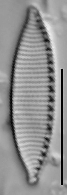 Nitzschia desertorum LM5