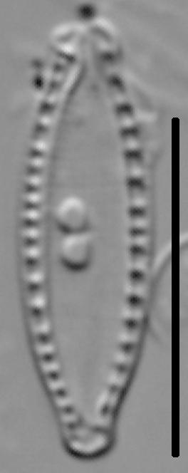 Nitzschia microcephala LM5