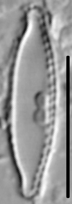 Nitzschia microcephala LM4
