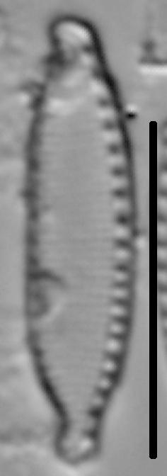 Nitzschia microcephala LM2