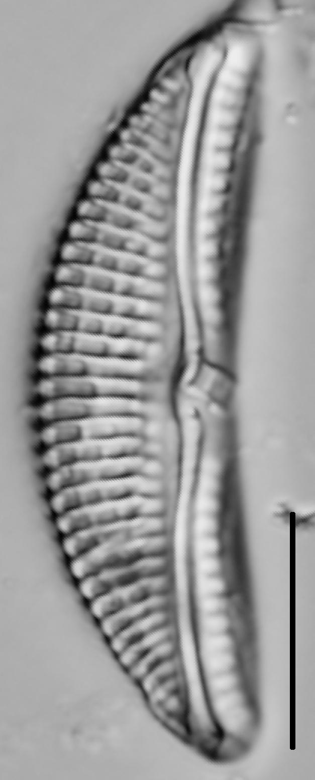 Amphora ovalis LM5
