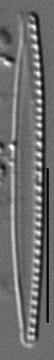 Nitzschia paleacea LM4