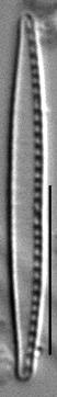 Nitzschia paleacea LM3