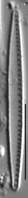 Nitzschia paleacea LM1