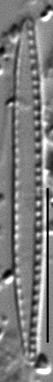 Nitzschia paleacea LM6