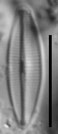 Craticula molestiformis LM3