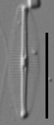 Craticula molestiformis LM1