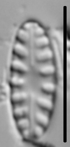 Hygropetra balfouriana LM5