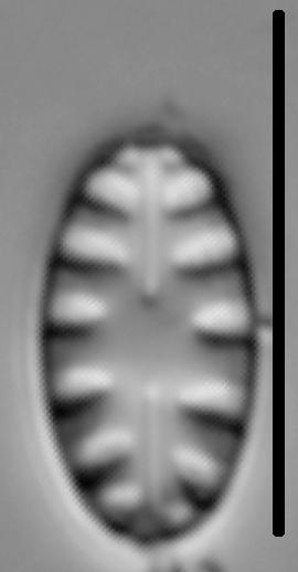 Hygropetra balfouriana LM1
