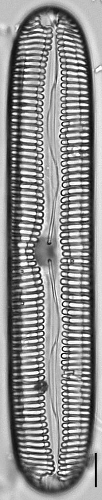 Pinnularia streptoraphe LM5