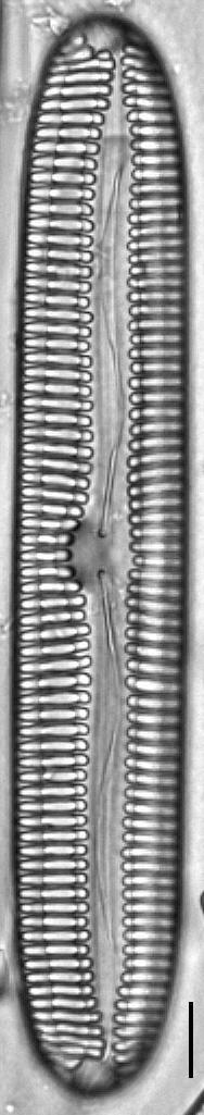 Pinnularia streptoraphe LM3
