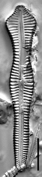 Gomphonema pusillum LM7
