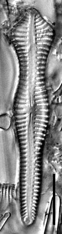 Gomphonema pusillum LM6