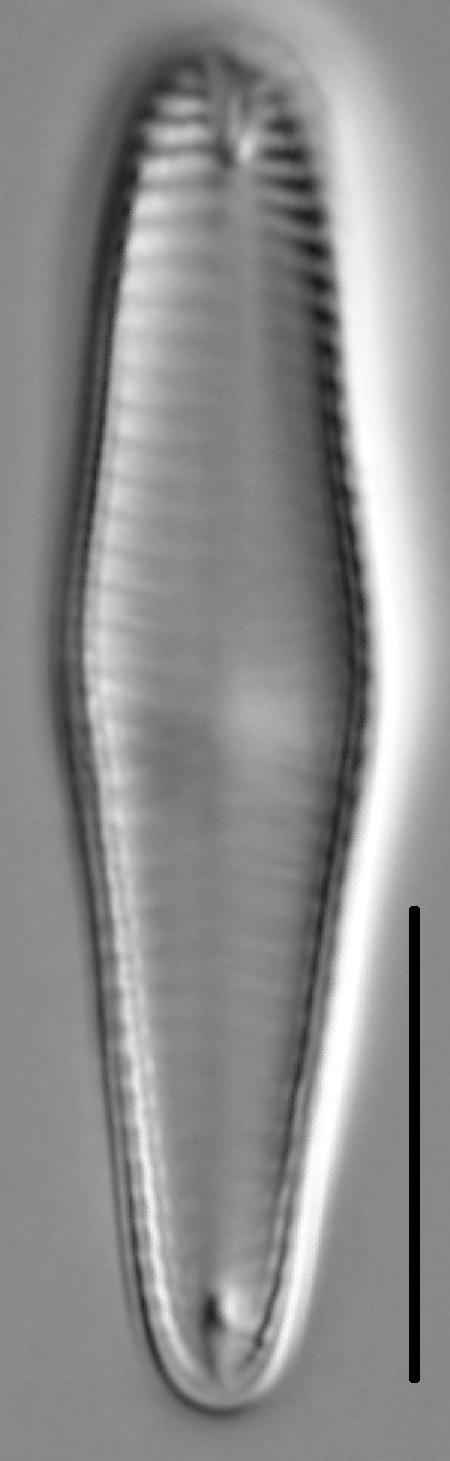 Gomphoneis pseudo-okunoi LM7