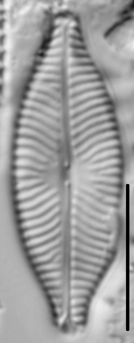 Navicula salinarum LM5