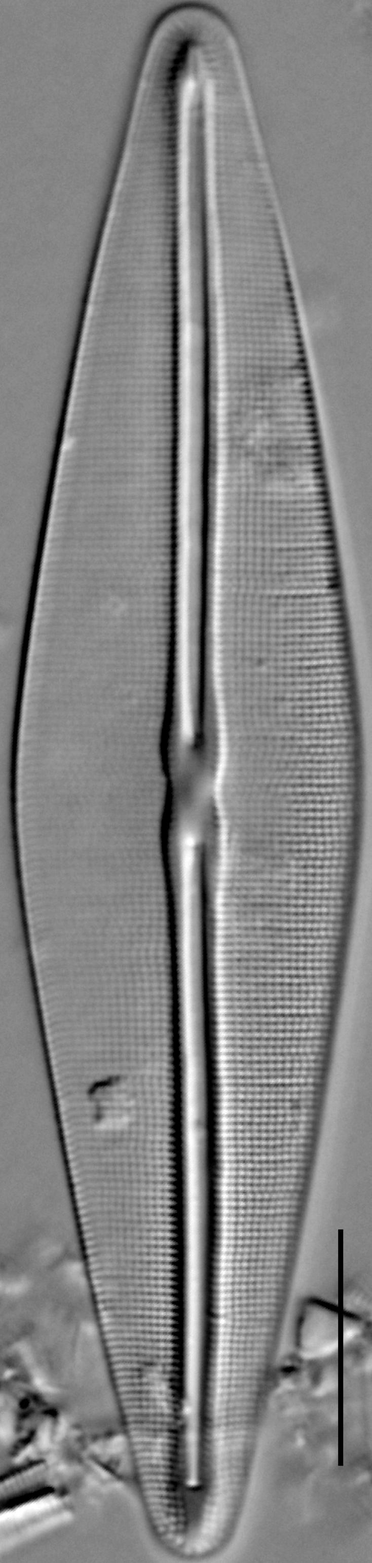 Frustulia saxonica LM4