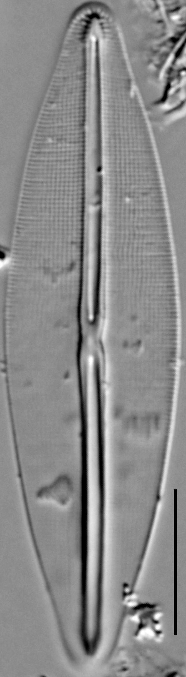 Frustulia saxonica LM1