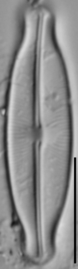Sellaphora stauroneioides LM6