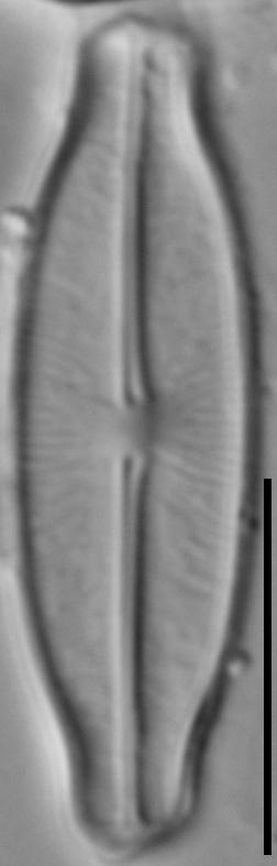 Sellaphora stauroneioides LM3
