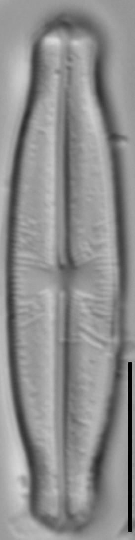 Sellaphora stauroneioides LM2
