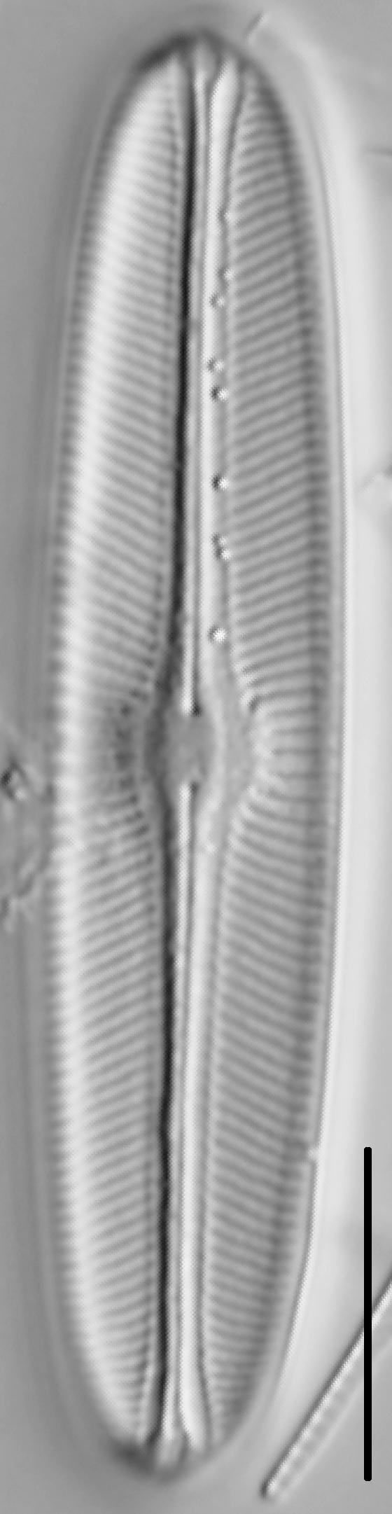 Sellaphora bacillum LM6