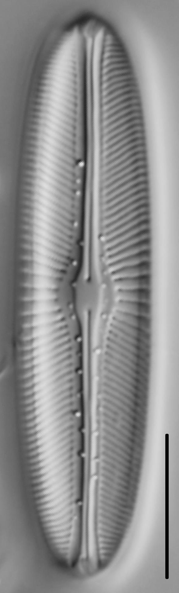 Sellaphora bacillum LM3