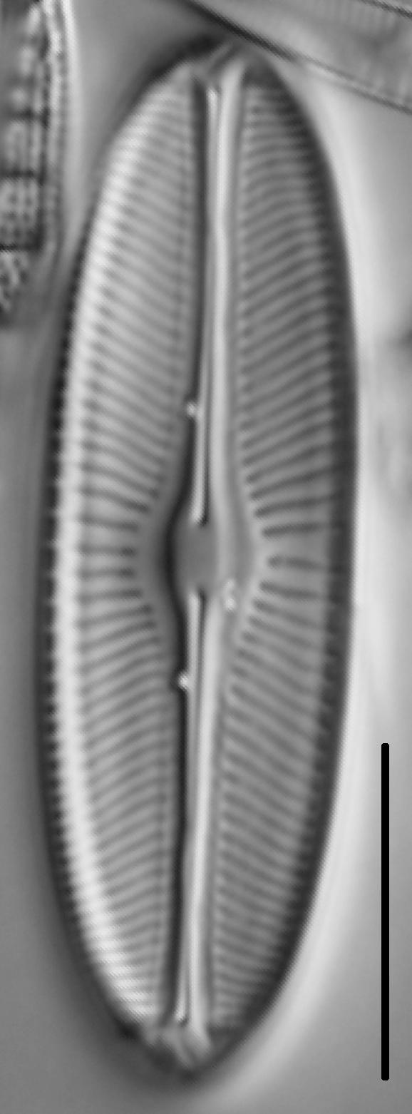 Sellaphora bacillum LM1