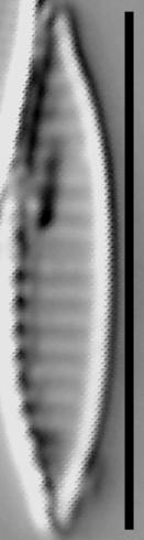 Simonsenia delognei LM2