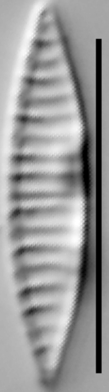 Simonsenia delognei LM1