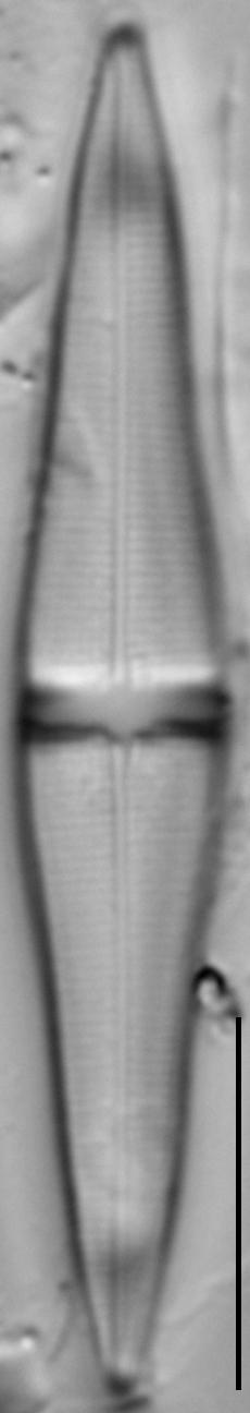 Stauroneis smithii var incisa LM2