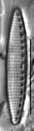 Nitzschia valdecostata LM7