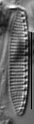 Nitzschia valdecostata LM6