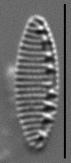 Nitzschia valdecostata LM2