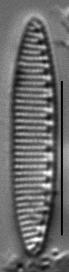 Nitzschia valdecostata LM1