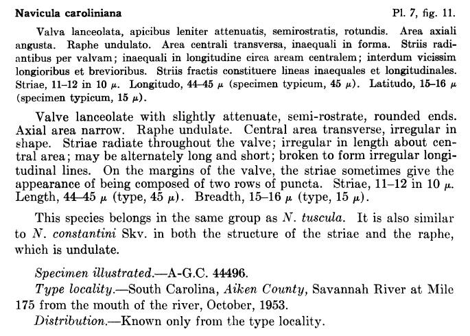 Aneumastus carolinianus orig descr