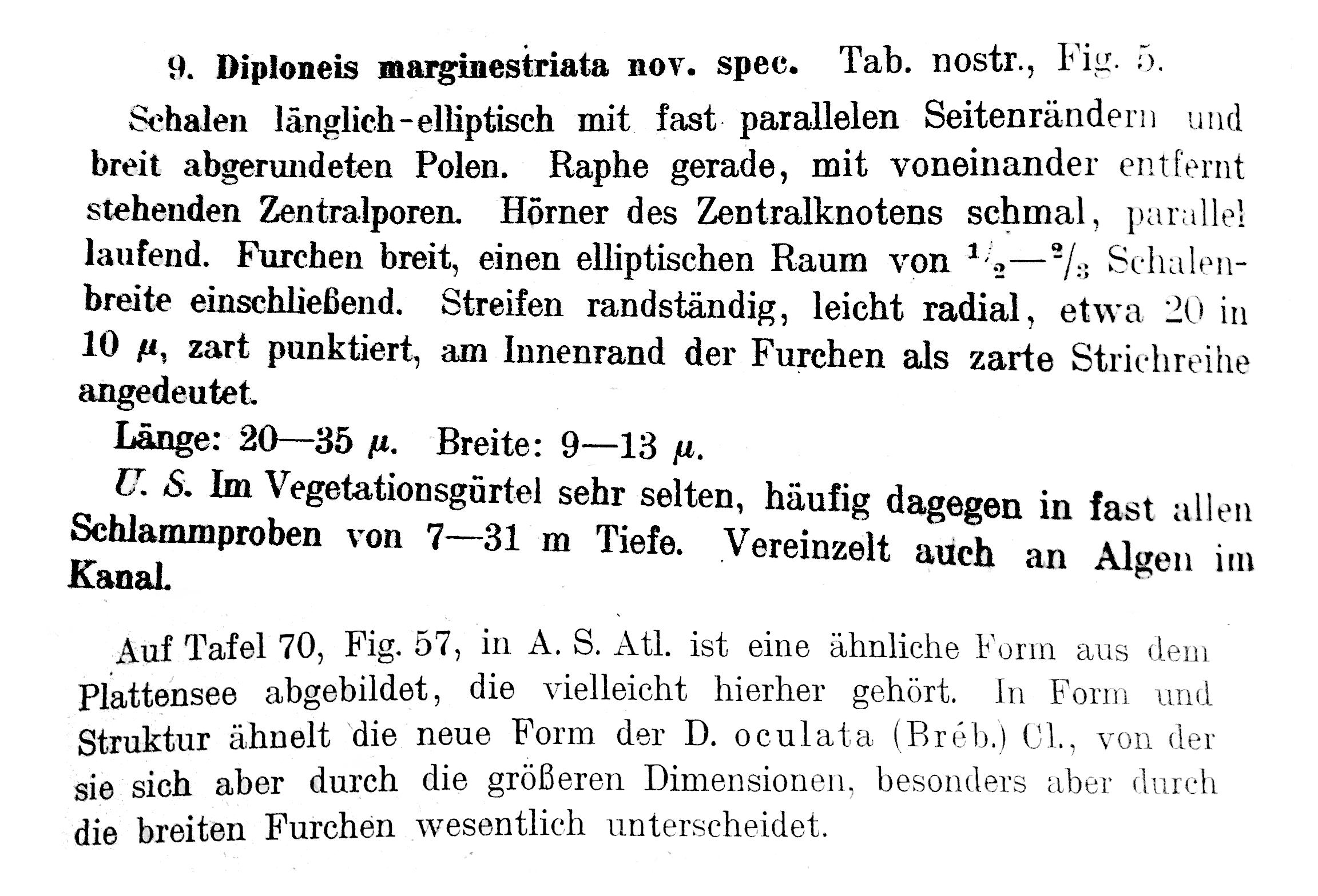 Diploneis Marginestriata  Hustedt 1922