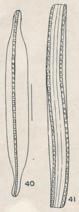 H And  H  Ni  Ni Biacrula Drawing