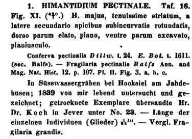 Himantidium Pectinalis