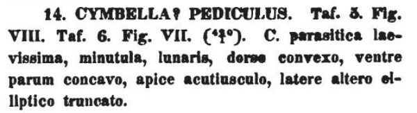 Cymbella pediculus orig descr