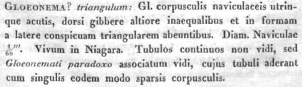 Encyonema Triangulum  Orig Descr