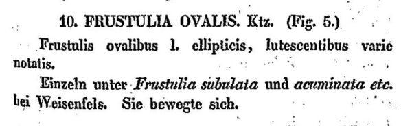 F Ovalis Kutzing 1833 Desc