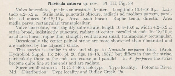 H And  H  Navicula Caterva Description