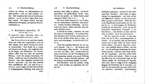 N Sigmoidea Originaldescription
