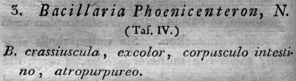 Stauroneis Phoenicenteron  Orig Descr