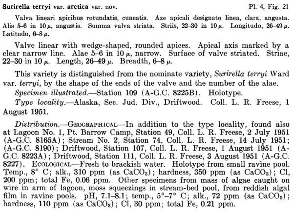 Surirella Terryi Var Arctica Orig Descript  Pf1961