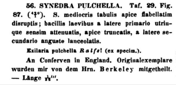 Synedra Pulchella Original