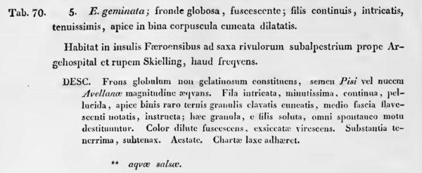 Echinella Geminata Orig Text
