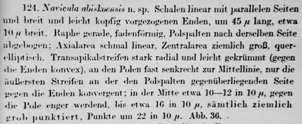 Navicula Abiskoensis Orig Desc Text