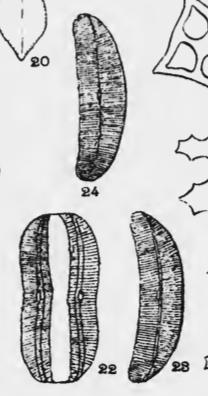 Amphora calumetica orig illus