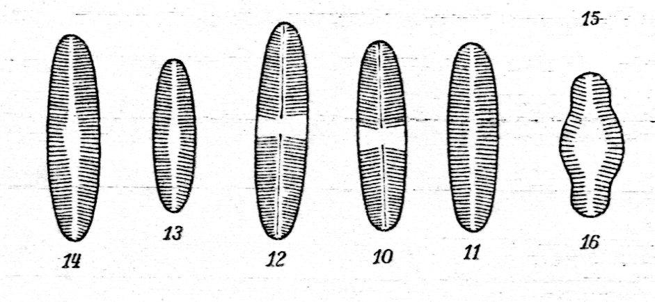 Achnanthes petersenii orig illus